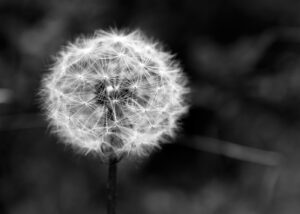 A photograph of a dandelion seed.